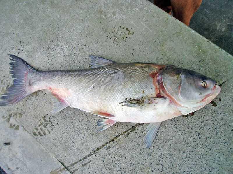 Ловля толстолобика – Все о рыбалке