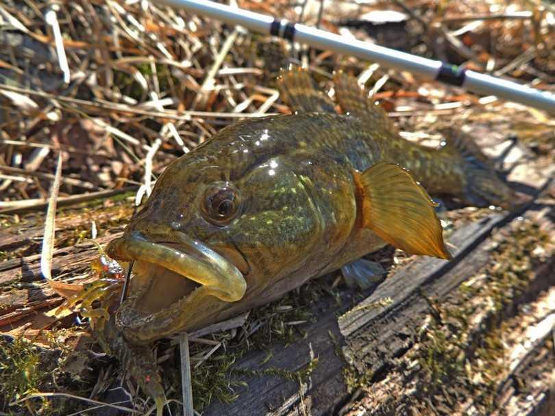 Как ловить ротана — Здесь рыба